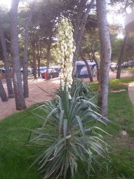 Yucca liliompálma