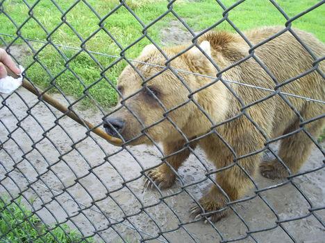 A medvéket eteteni SZABAD !