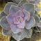 Sziklakerti virág