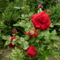 piros rozsam