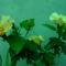 sarga hibiskus