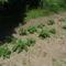 Másod ültetésü burgonya