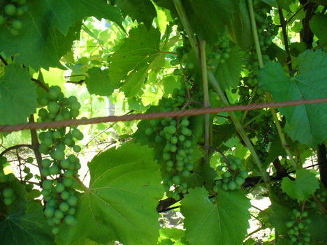 Pinot Noar