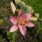 rozsaszin liliom