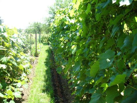 Van munka a szőlőben