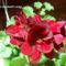Uszós muskátli virág