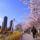 cseresznyefavirágzás tokyoban