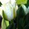 Hófehér tulipán