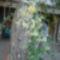 sárga virágú futó jázmin