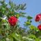 SZERETETTEL A KERTEMBŐL...ha én rózsa volnék...sosem   szomorkodnék !!!hümmm