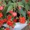 """""""Begonia Pendula"""""""