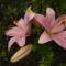 rozsaszin liliomom