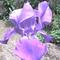 Irisz (nőszirom)