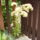 Virágzó kőrózsám