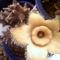 Orbea ciliata