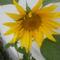 Kerti virágok 11