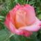 Kerti virágok 13