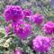 Kerti virágok 9