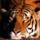 Tigris-001_818692_18756_t
