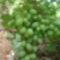 kert  szölöfürt