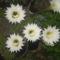 Virágzó kaktuszom