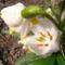 Jani növényei-gyümölcsei (11)
