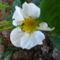 Jani növényei-gyümölcsei (23)