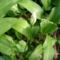 Jani növényei-gyümölcsei (44)