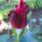 Jani növényei-gyümölcsei (56)