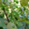 Jani növényei-gyümölcsei (67)