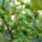 Jani növényei-gyümölcsei (68)