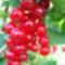 Jani növényei-gyümölcsei (73)