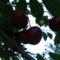 Jani növényei-gyümölcsei (74)