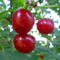 Jani növényei-gyümölcsei (75)