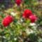 Jani növényei-gyümölcsei (76)
