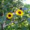 Jani növényei-gyümölcsei (81)