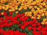 tulipantok