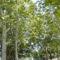 Füredi fák