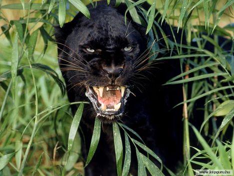 Fekete párduc 11