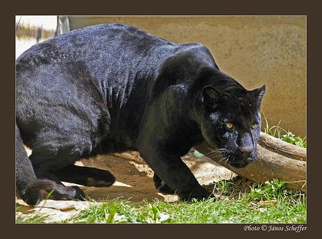 Fekete párduc 2