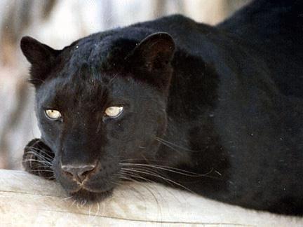 Fekete párduc 5