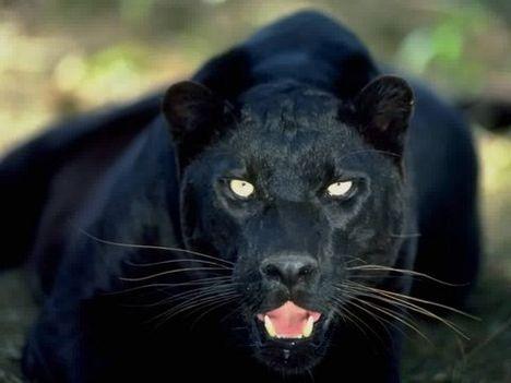 Fekete párduc 7