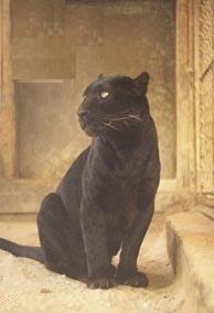 Fekete párduc 8