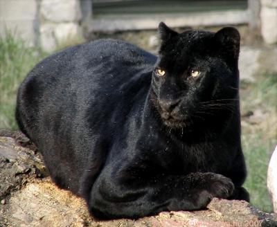 Fekete párduc 9
