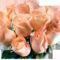 harmatos rózsák