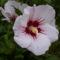 Mályvacserje - Hibiscus syriacus