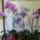 Virágzó orchideáim együtt