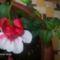 Csüngő fukszia virág