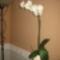 Fehér orchidea