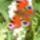 A nyári orgonát tömegével lepik meg a pillangók